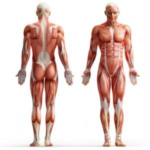 Aminosäuren Muskelaufbau BCAA